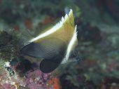 Horned Bannerfish