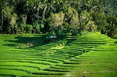 A view of the terraced rice fields on the rich fertile volcano soil hills of Bali, Indonesia.