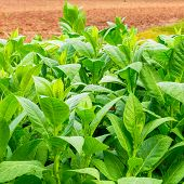 Tobacco plantation at the Vinales Valley in Cuba