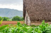 Tobacco plantation and tobacco curing barn at the famous Vinales Valley in Cuba