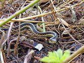 Garter snake in dead grass