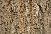 Poplar bark closeup