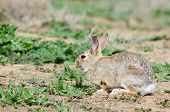 picture of arsenal  - Cottontail rabbit at rocky mountain arsenal Colorado - JPG