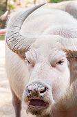 Angry Albino Water Buffalo