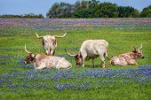 stock photo of pastures  - Texas longhorn cattle grazing in bluebonnet wildflower pasture - JPG