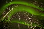Dancing Aurora Borealis Swirls Taiga Aspen Trees