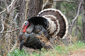 pic of gobbler  - Wild male turkey gobbler in a natural Arizona wooded habitat.