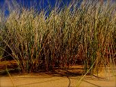foto of dune grass  - UK dune grass on coastal sand dune