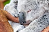 Adorable Koala Bear Taking A Nap Sleeping On A Tree