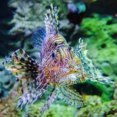 foto of lion-fish  - poisonous exotic zebra lion fish in aquarium - JPG