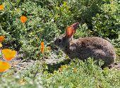 Wild Cottontail  Brush Rabbit In Spring Grass