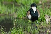 Spur-winged Lapwing (vanellus Spinosus) After