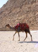 Camel in front of pyramid at Giza