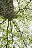 picture of hughes  - here is a new look at the beautiful tree in the spring - JPG