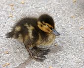 Duckling sleeping