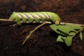 stock photo of caterpillar  - this is the caterpillar of the sphinx ligustri hawkmoth - JPG