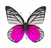 Beautiful Pink And White Butterfly Isolated On White Background