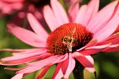Echinacea Purpurea Flower And A Working Bee