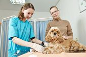 Female veterinarian surgeon worker making blood test to spaniel dog in veterinary surgery clinic