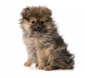 pomeranian puppy sitting looking at viewer isolated on white background - 3 months old