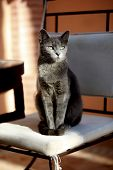 picture of carthusian  - Carthusian cat sitting on a chair enjoys the sun - JPG