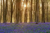 Sunlight bursting through the trees just after dawn in a beech woodland full of bluebells near to Mi