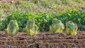 Chinese Cabbage On A Plantation Field