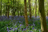 Bluebell wood in England.