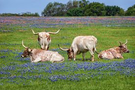 picture of bluebonnets  - Texas longhorn cattle grazing in bluebonnet wildflower pasture - JPG
