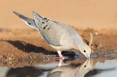 Mourning Dove Drinking At A Pond