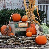 Pumpkins and a cat on decorative rocks