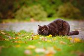 picture of portrait british shorthair cat  - brown british shorthair breed cat posing outdoors - JPG