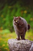 stock photo of portrait british shorthair cat  - beautiful brown british shorthair cat outdoors portrait - JPG