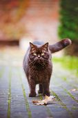 british shorthair cat outdoors in autumn