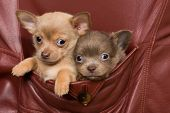 Two adorable chihuahua puppies sitting in the coat of an old leather jacket