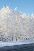 Snowy winter forest. Trees in the snow