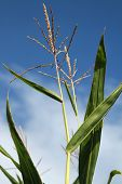 stock photo of corn stalk  - Tip of corn stalk with blue sky background.
