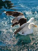 picture of flock seagulls  - Animals nature and action - JPG