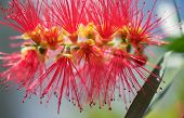 Spring Flower Australian Callistemon Captain Cook