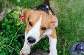 Beagle Dog In The Garden