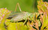 Green Grasshoper In A Garden