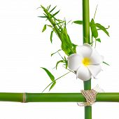 Bamboo Leaves With Frangipani Flower Frame Made Of Stems Is Isolated On White
