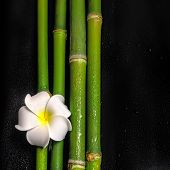 Beautiful Spa Still Life Of Frangipani Flower And Natural Bamboo Stems With Dew, Closeup