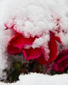 Red rose covered in snow