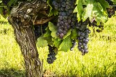 Black grapes for red wine.