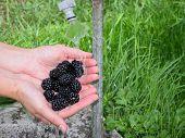 Washing blackberries