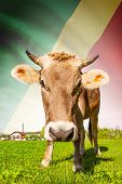 Cow With Flag On Background Series - Republic Of The Congo - Congo-brazzaville