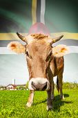 Cow With Flag On Background Series - Dominica