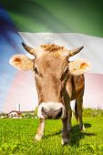 Cow With Flag On Background Series - Equatorial Guinea