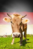 Cow With Flag On Background Series - Germany